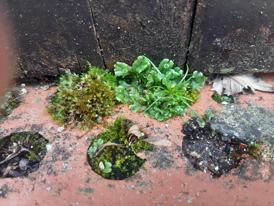 Marchantia polymorpha and moss growing in brick holes