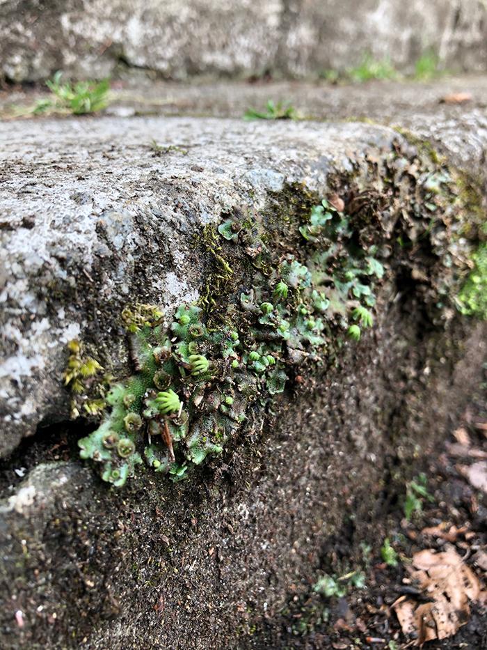 Marchantia polymorpha on footpath