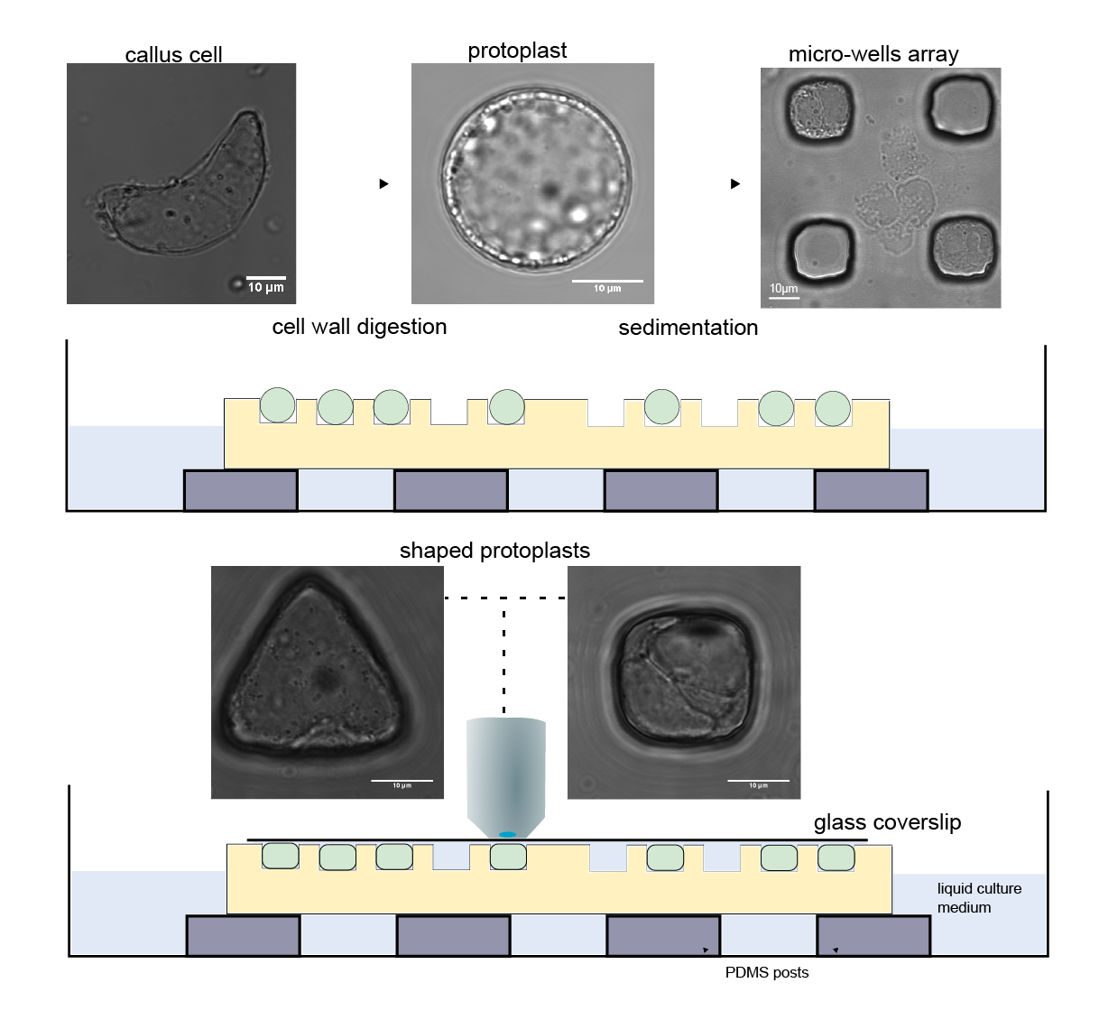 Experimental set-up used for the confinement of protoplasts in different geometries (Pauline Durand)