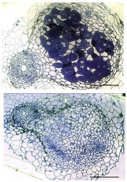 Cross sections of nodules containing nitrogen-fixing bacteria (top panel, dark blue staining) and a spontaneously induced nodule that lacks nitrogen-fixing bacteria.