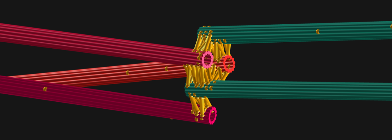 Simulations of microtubule bundle assemblies performed with Cytosim
