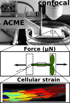 ACME enables images to be collected while precise forces are applied. The response of individual cells can be seen.