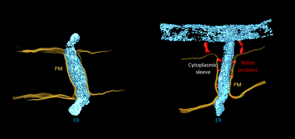 Type I plasmodesmata (left) with closely apposed endoplasmic reticulum (ER) and plasma membrane (PM), and no obvious cytoplasmic sleeve. Type II plasmodesmata (right) with ER and PM spaced by tether proteins and visible cytoplasmic sleeve. Type II plasmod