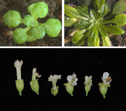 Constitutive expression of pathogen effectors in Arabidopsis thaliana (upper pane) and Nicotiana benthamiana (lower pane) results in subtle alterations of plant development