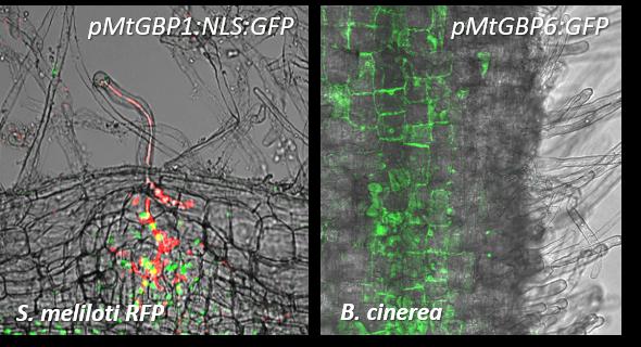 Expression pattern of MtGBP1 and MtGBP6 upon inoculation with symbiotic rhizobia Sinorhizobium meliloti and necrotrophic fungal pathogen Botrytis Cinerea, respectively