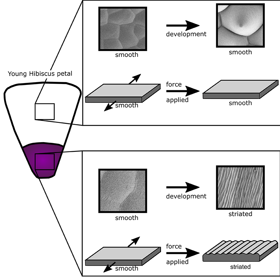 Applying a mechanical stress caused buckling in purple regions of the petal that naturally develop striations, but not in the white regions that do not naturally develop striations, suggesting the striations are under genetic control.