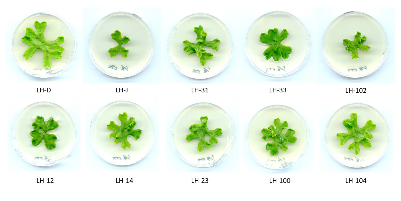 The next batch of three week old liverwort samples growing on media plates