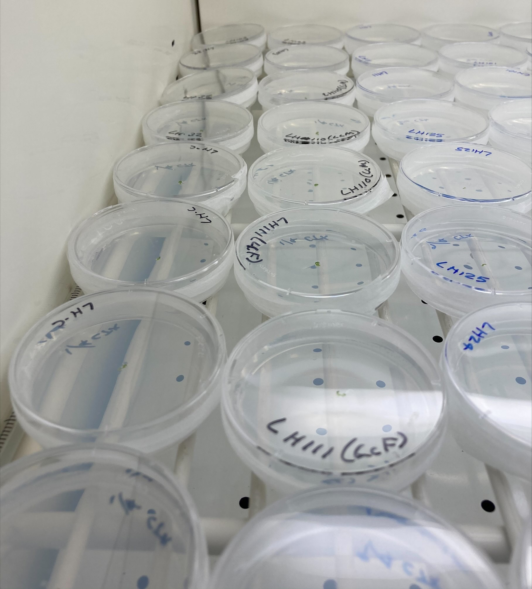 Multiple plates of gemmae developing into liverwort plants