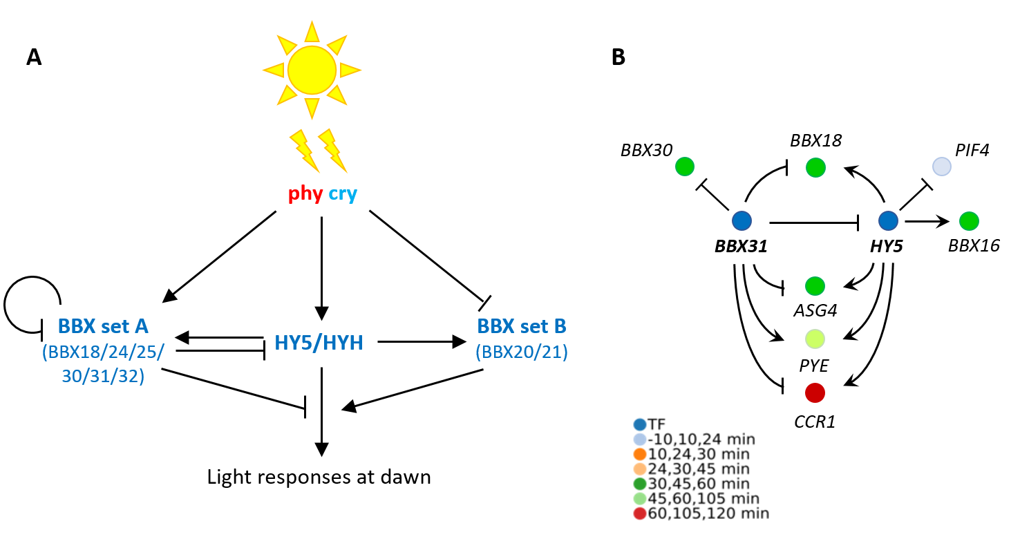 Phytochrome and cryptochrome photoreceptors control light signalling at dawn via BBX and HY5 transcription factors