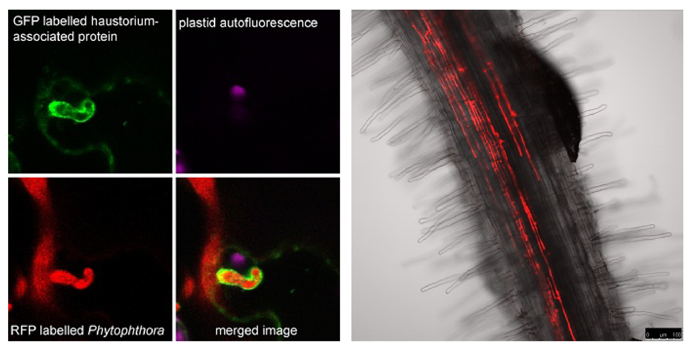Image 1: Red fluorescent Phytophthora colonising a Medicago truncatula (barrel medic) root. Image 2: A GFP-labelled protein functions at Phytophthora haustoria structures.