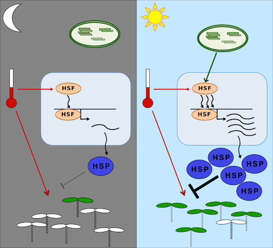 Plant heat stress signalling graphic