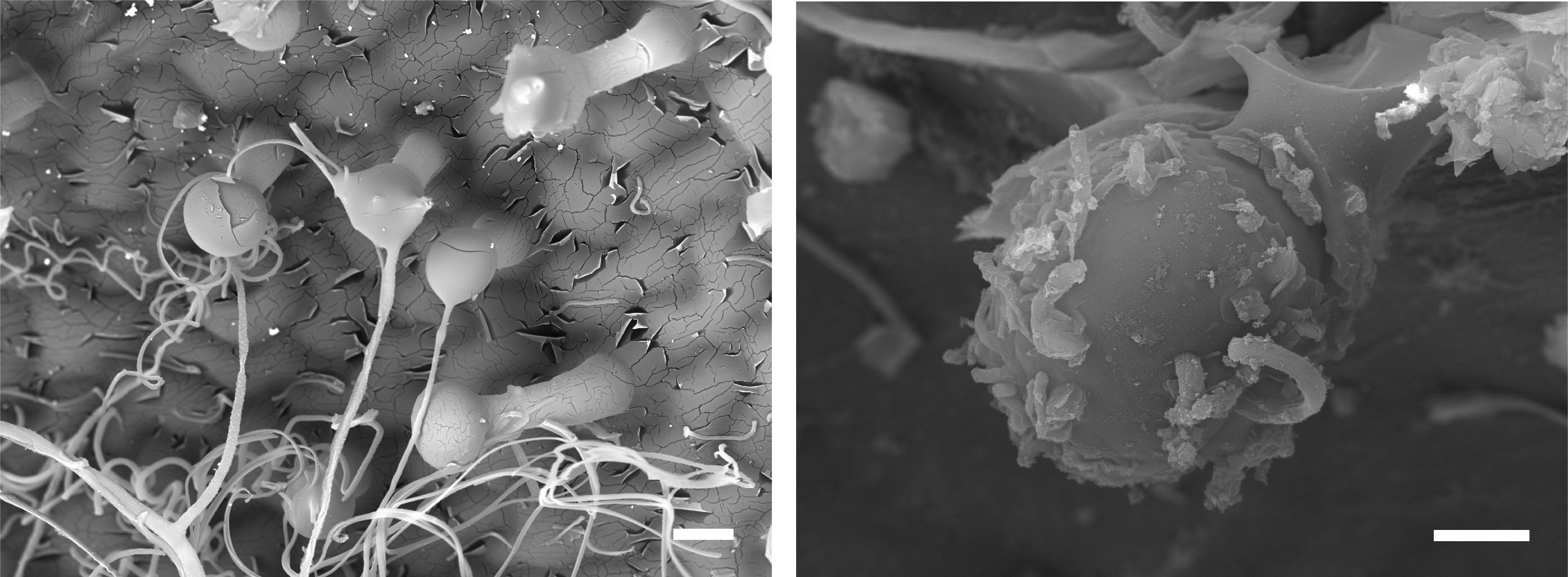 Alpine plant spins its own flavonoid wool