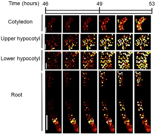 Single cell imaging reveals spatial structure of the clock in young seedlings. Images show a reporter of the circadian clock imaged over time at the cellular level during the early stages of Arabidopsis seedling development.