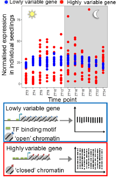 Single seedling RNA sequencing revealed widespread gene expression variability between genetically identical Arabidopsis plants in the same environment. Highly variable genes tend to be characterised by a closed chromatin state with fewer transcription fa