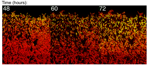 Time-lapse imaging of B. subtilis biofilm development reveals that stochastic pulsing of gene expression enables pattern formation. A fluorescent protein reporter of the general stress response sigma factor, σB (shown in green) shows single-cell pulses in