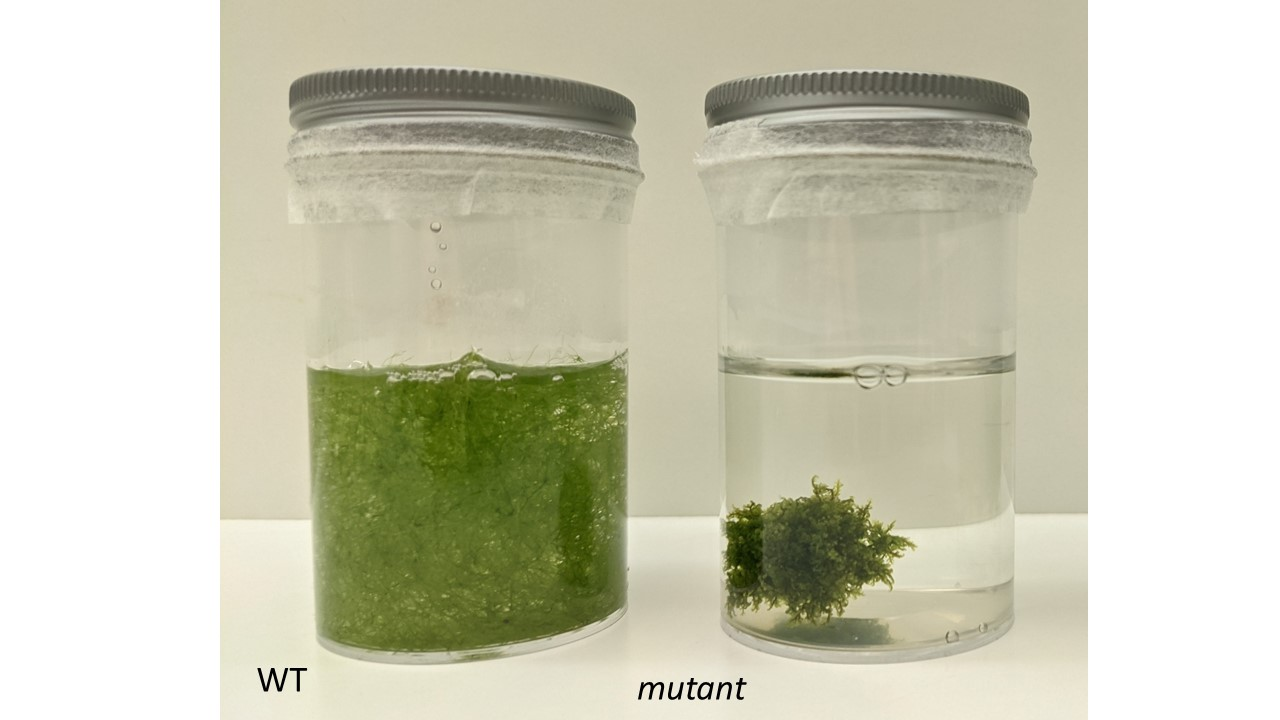 Wild-type U. gibba (WT, left) floats in water whereas mutant U. gibba with smaller air spaces sinks to the bottom of the water column (mutant, right).