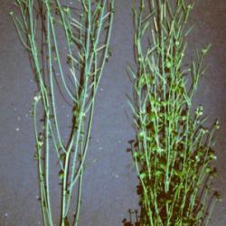 Branching Arabidopsis plants