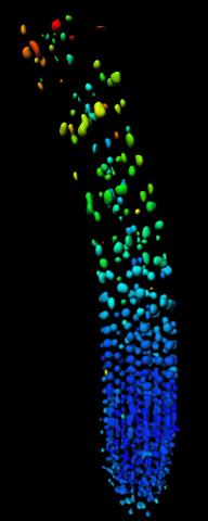 Biosensor imaging of root tip measuring GA gradient, showing a substantial GA increase in the elongation zone.