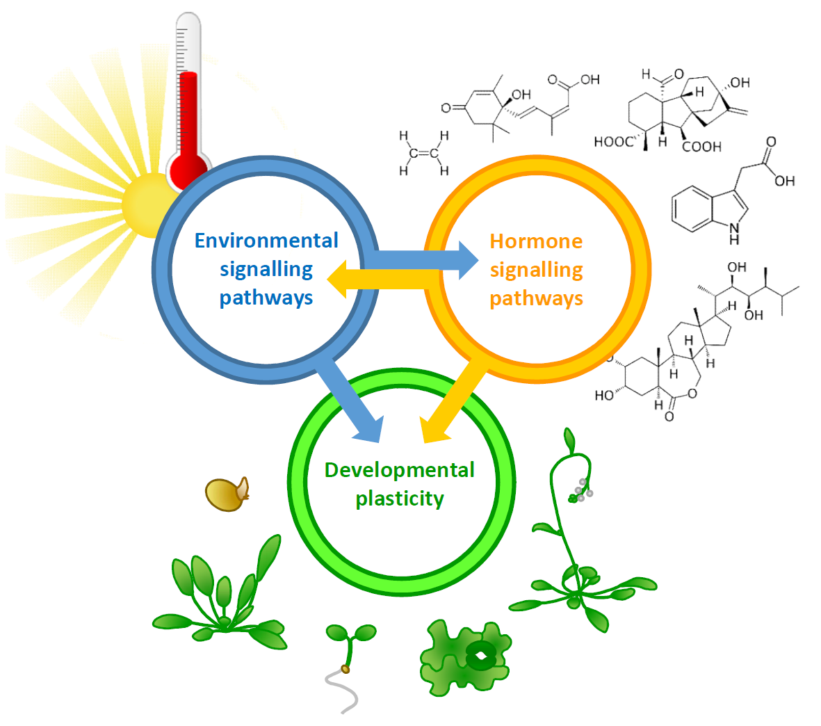 Dr Balcerowicz is investigating how environmental signals trigger endogenous processes in plants. Diagram by Martin Balcerowicz.