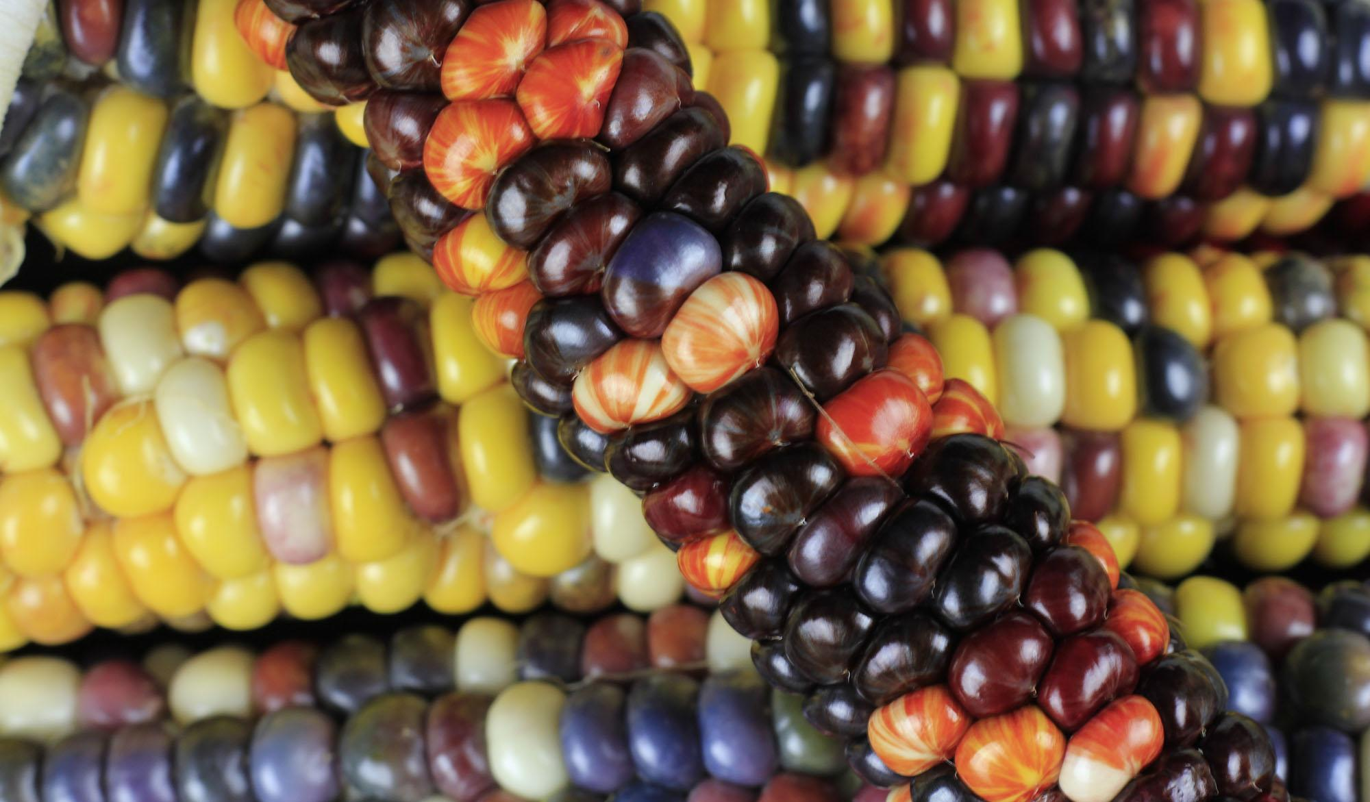 Corn kernels showing an unstable phenotype (stripes and spots) caused by jumping genes interfering with a pigment gene.