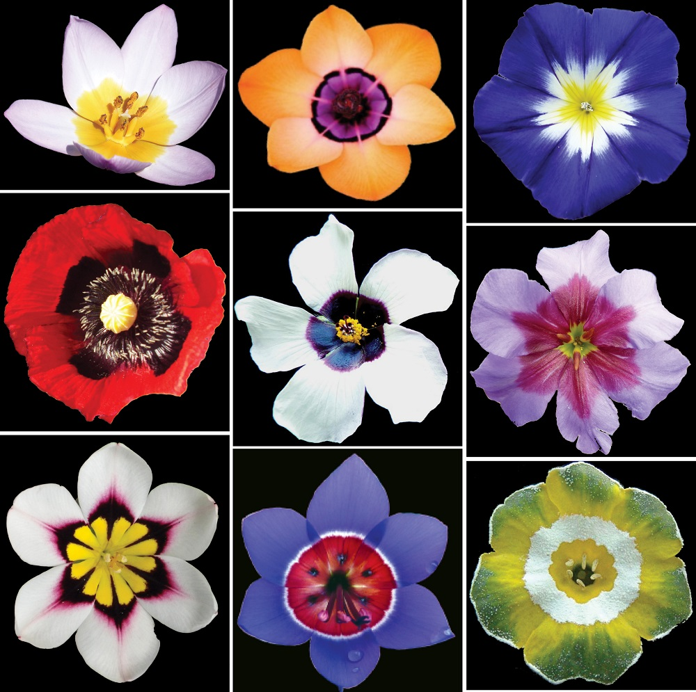 Various examples of bullseye patterns commonly found in flowering plants.