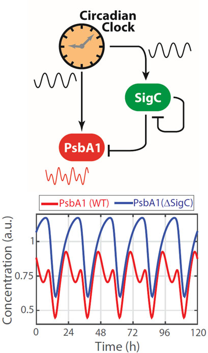 Downstream targets of the cyanobacterial circadian clock can double their frequency from one peak to two peaks every 24 hours through an oscillatory incoherent feedforward loop circuit.