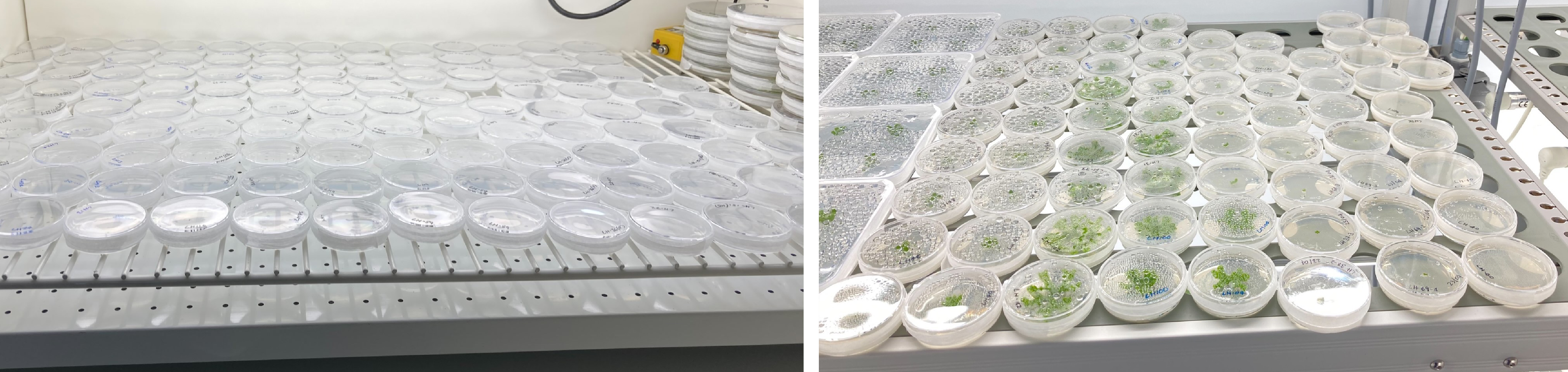 Great British Liverwort Hunt - Lunularia on left and Marchantia on right growing on plates in growth chamber