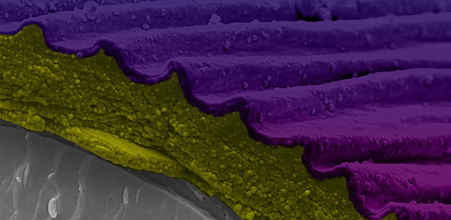 Cryo-Scanning Electron Microscopy of Hibiscus trionum petal fracture. Image by Raymond Wightman. False colour processing by Gareth Evans.