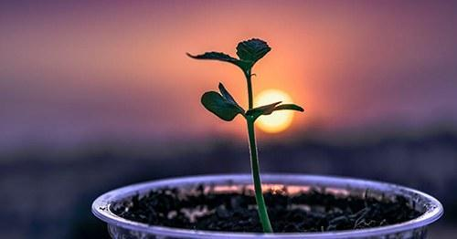 Plant seedling with sunset in background